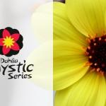 Identiteit Mystic Dahlia